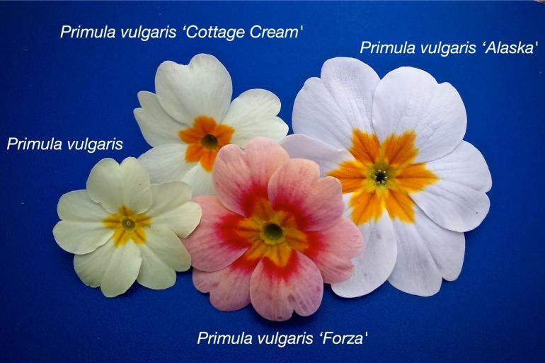 Primula flowers